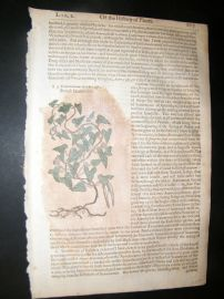 Gerards Herbal 1633 Hand Col Botanical Print. French Scammony